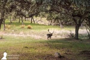 Además de linces, en la sierra de Andújar es posible ver otros animales, como gamos