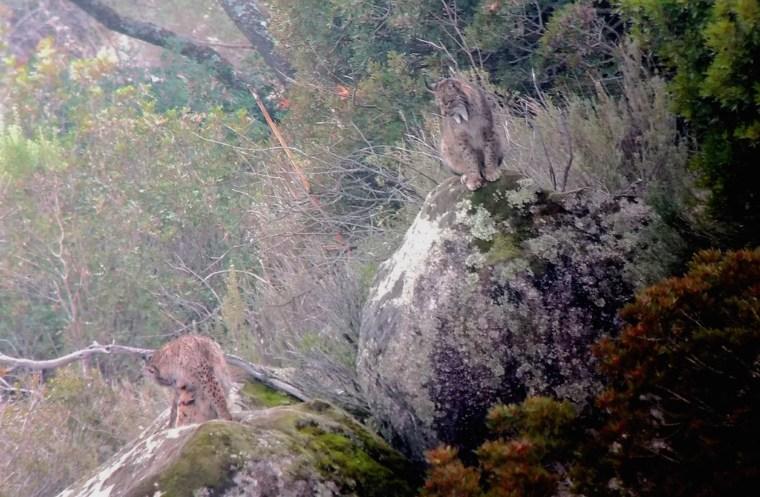 La pareja de linces ibéricos que pudimos observar en la sierra de Andújar, Jaén. Foto hecha con el móvil, sobre el visor del telescopio