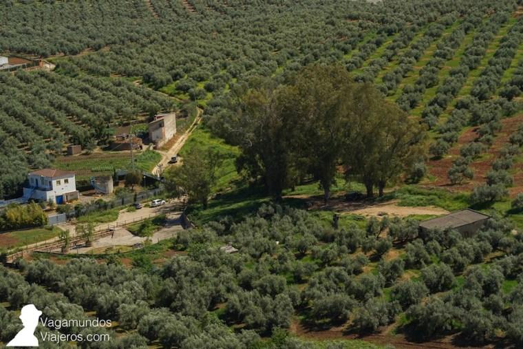 Vista de varios olivares en Jaén, Andalucía