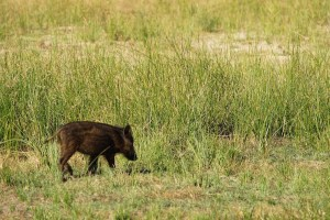 En Doñana es posible ver muchos animales en libertad, como jabalíes