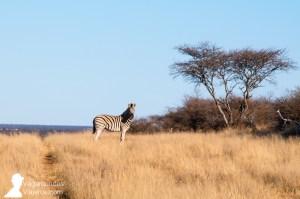Una cebra, vista durante un safari por Namibia