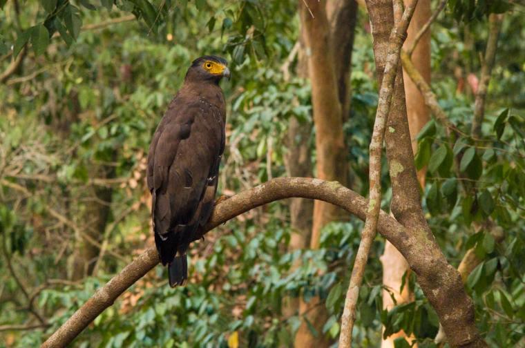 Águila en el Parque Yala, en Sri Lanka