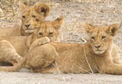 Cachorros de león en el Parque Nacional Chobe, Botswana