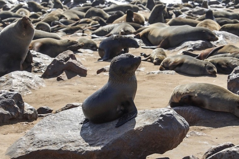 Colonia de lobos marinos en Cape Cross, Namibia