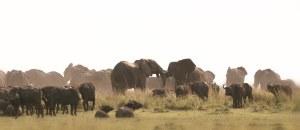 Manadas de elefantes y búfalos compartiendo orilla en el río Chobe, Botswana