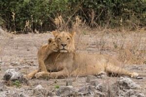 Una amorosa familia de leones en el Parque Nacional de Chobe, Botswana