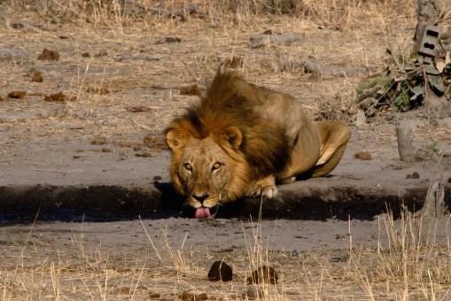 Un león se acerca a beber a una de las charcas del Thobolo's Lodge, en el camino a Savuti, Botswana