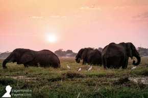 Un grupo de elefantes comiendo en el río Chobe mientras atardece