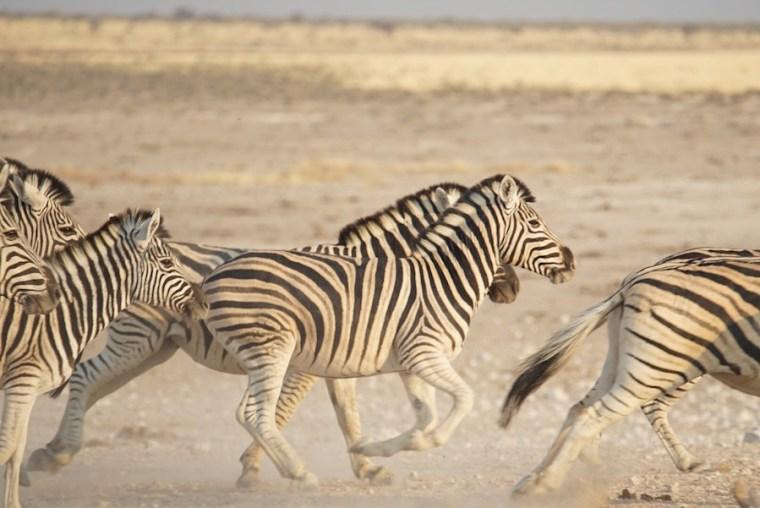 Cebras corriendo en el Parque Nacional Etosha, Namibia