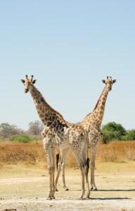 Una pareja de jirafas en la reserva Moremi, Botswana