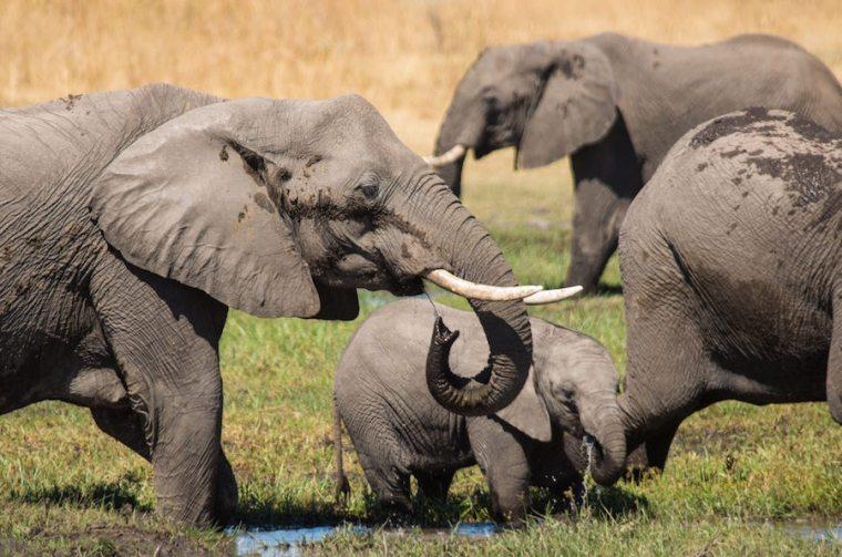 Elefantes bañándose y bebiendo en una charca dentro de la reserva Moremi, Botswana