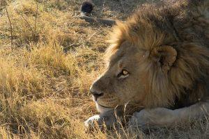 Uno de los muchos leones que pudimos ver de safari por la reserva Moremi en Botswana