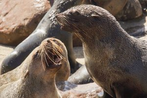 El ruido y olor de tantos leones marinos juntos es lo más característico de Cape Cross