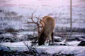 Un reno pastando en la nieve en Tromso