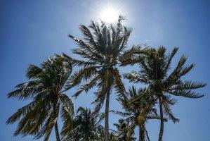 Palmeras al viento en Cuba
