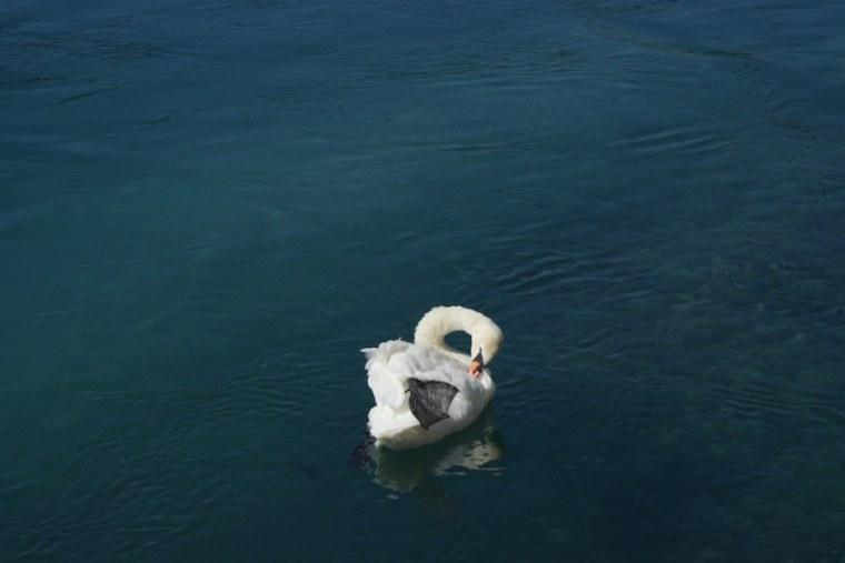 Cisne nadando en el lago Leman en Ginebra