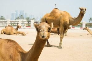 Camellos descansando junto al fuerte Al Koot en Doha
