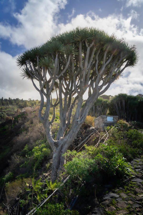 Drago en Las Tricias, La Palma