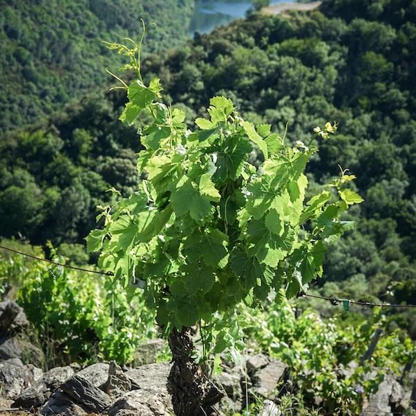 Viña en el Mirador de Souto Chao en la orilla de Lugo de la Ribeira Sacra, Galicia