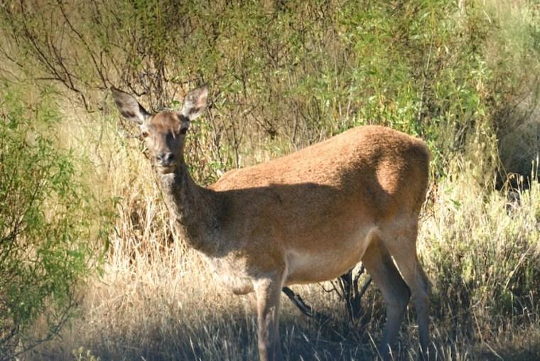 Un ciervo en las inmediaciones de la Fuente de los Tres Caños en Monfragüe