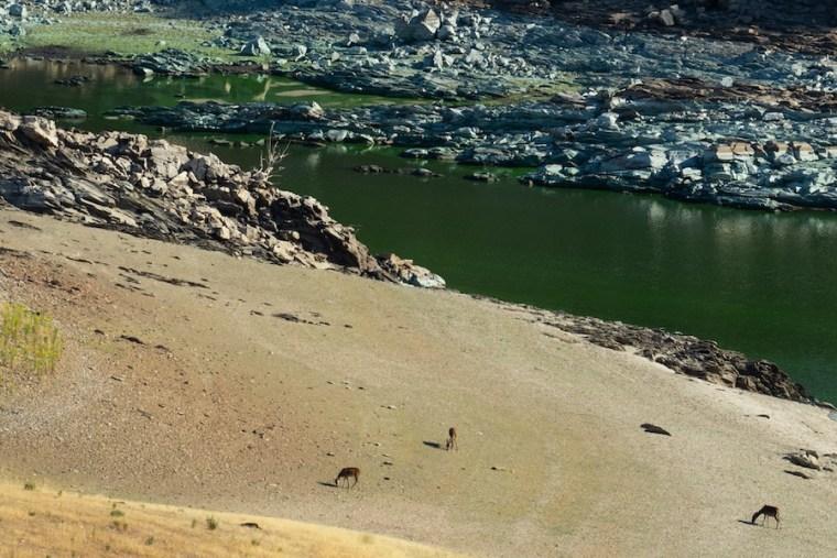Ciervos en las orillas del río Tiétar en Monfragüe