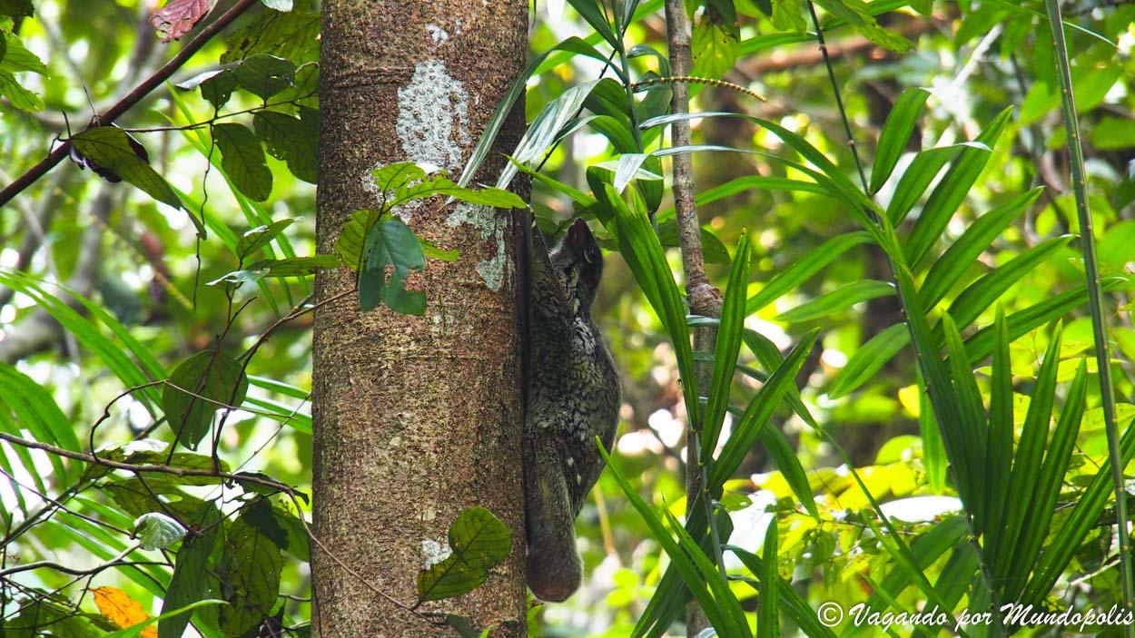 lemur-volador-bako