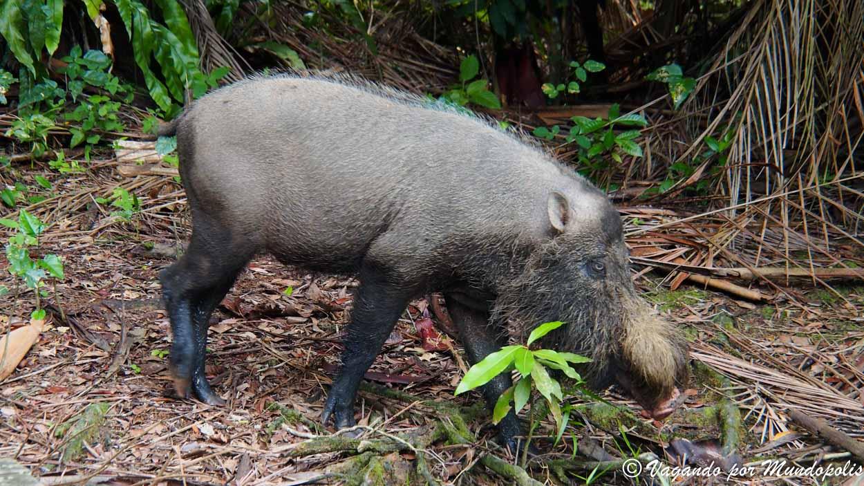 cerdo-borneo-malasia