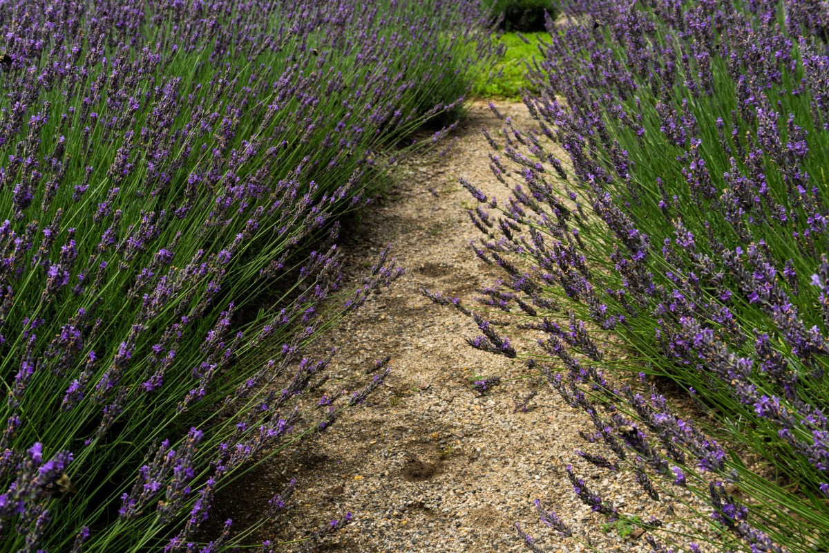 Dreaming Of Lavender Fields Vagarious Wanderer