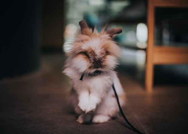 selective focus photography of bunny on a leash