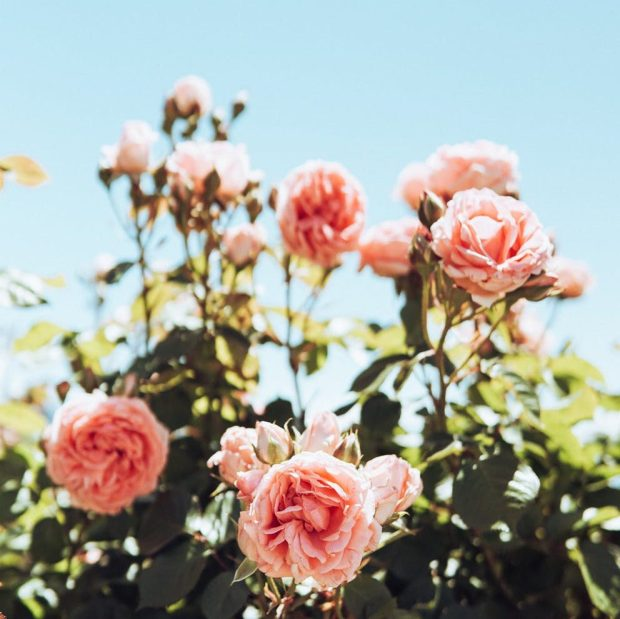 a pink and white rose bush with a clear blue sky in the background