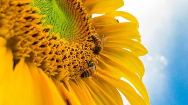 bumblebees on yellow sunflower, which represents the honey bee mindset in search of positivity
