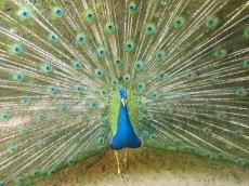 wasserfaelle-iguazu-vogelpark-pfau