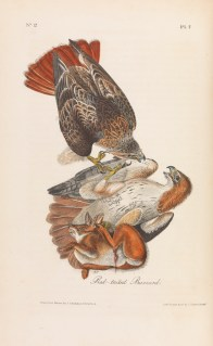 Red-Tailed Buzzard