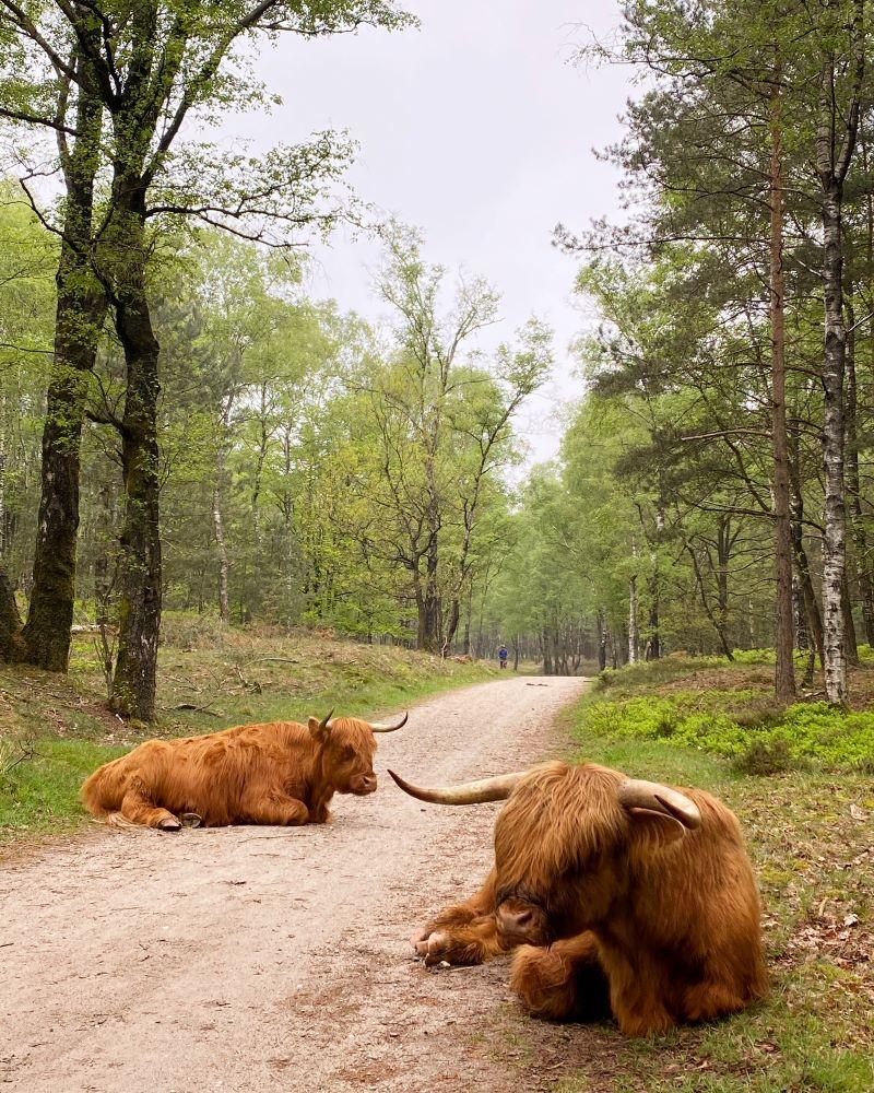 Hooglanders, Veluwezoom