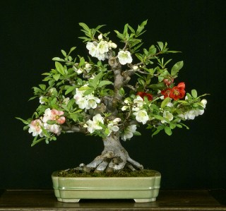 Toyo Nishiki Flowering Quince