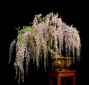 Wisteria Bonsai Valavanis Bonsai Blog