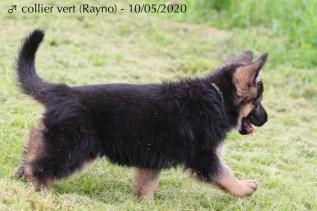 Rayno (collier vert)