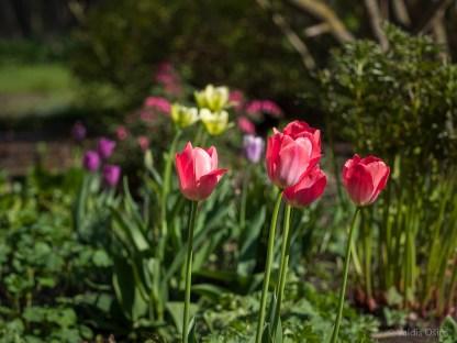 Tulpes_VO_5070008