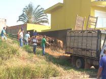 vaca5