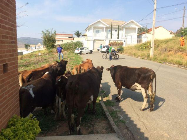 vacas-2