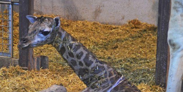 Neue Giraffe einer vom Aussterben bedrohten Unterart im BIOPARC Valencia geboren