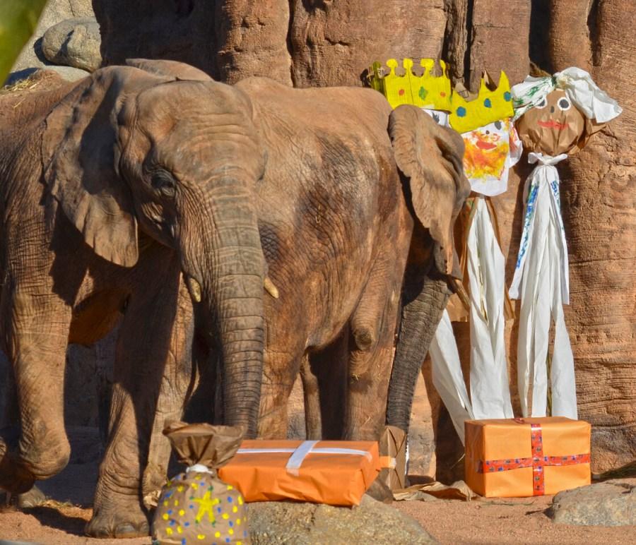 Los animales de BIOPARC Valencia reciben los regalos de Reyes Magos - elefantes - detalle (2)