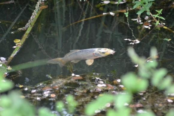 goudvissen (Small)
