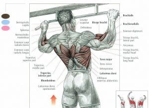 chin muscles diagram ford focus 2005 wiring pull-ups vs chin-ups. what's better?