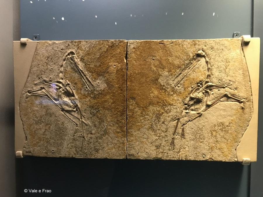 Visitare l' Accademia della Scienza a San Francisco in California fossile
