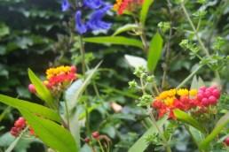 Asclepia, Salvia, Origanum