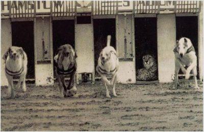 course guépard chien