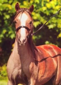 Bailey mini horse champion breeder