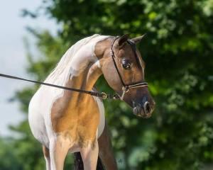 piper champion show mini horse breeder Mare