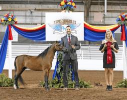 justified-an-mini-horse-stallion-champion-breeder Valhalla Farms
